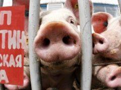Птичий грипп и чума свиней